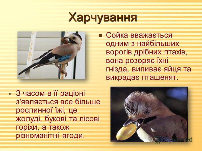 Харчування n Сойка вважається одним з найбільших ворогів дрібних птахів, вона розоряє їхні гнізда, випиває яйця та викрадає пташенят. З часом в її раціоні з'являється все більше рослинної їжі, це жолуді, букові та лісові горіхи, а також різноманітні