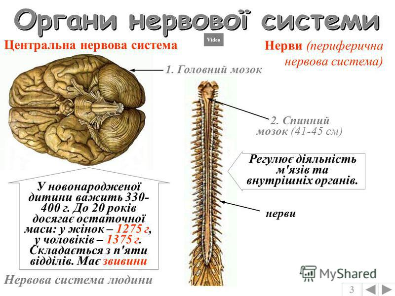 Нервова система плоских червив головний нервовий вузол повздовжні нервові стовбури поперечні нервові стовбури Нервова система риб головний мозок спинний мозок нерви регулює злагоджену роботи усіх органів забезпечує звязок організму з навколишнім сере