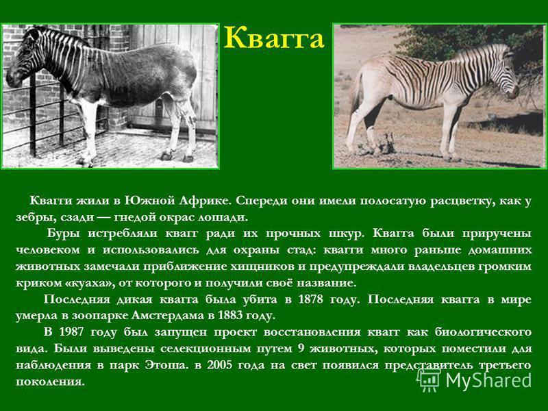 Квагга Квагги жили в Южной Африке. Спереди они имели полосатую расцветку, как у зебры, сзади гнедой окрас лошади. Буры истребляли квагг ради их прочных шкур. Квагга были приручены человеком и использовались для охраны стад: квагги много раньше домашн