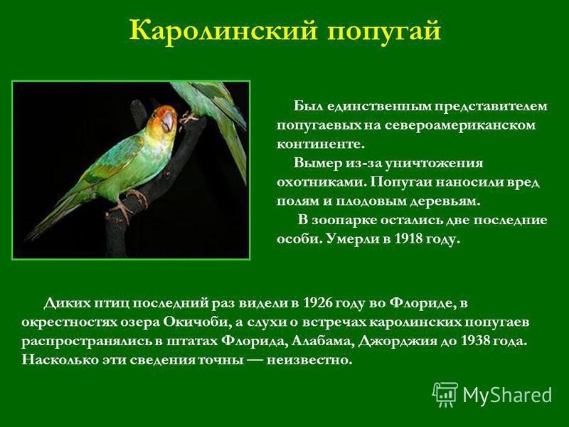 Каролинский попугай Был единственным представителем попугаевых на североамериканском континенте. Вымер из-за уничтожения охотниками. Попугаи наносили вред полям и плодовым деревьям. В зоопарке остались две последние особи. Умерли в 1918 году. Диких п