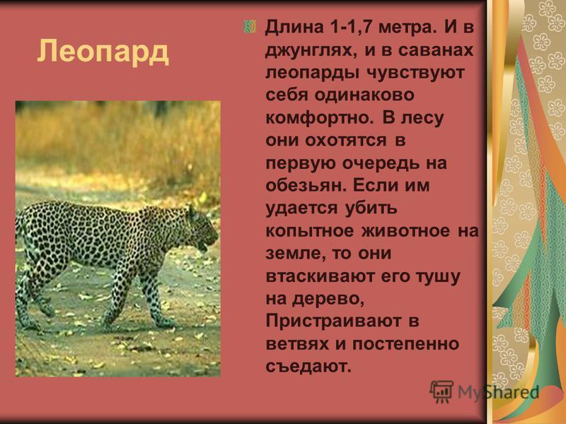 Леопард Длина 1-1,7 метра. И в джунглях, и в саванах леопарды чувствуют себя одинаково комфортно. В лесу они охотятся в первую очередь на обезьян. Если им удается убить копытное животное на земле, то они втаскивают его тушу на дерево, Пристраивают в
