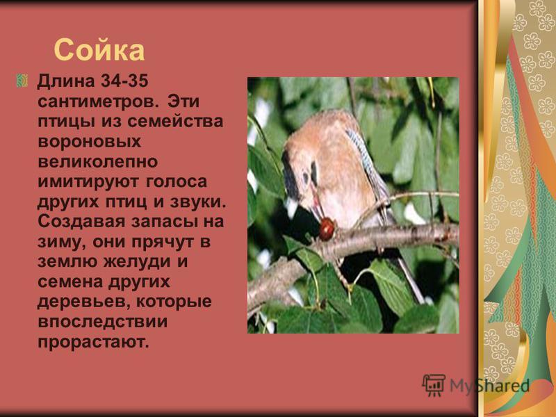 Сойка Длина 34-35 сантиметров. Эти птицы из семейства вороновых великолепно имитируют голоса других птиц и звуки. Создавая запасы на зиму, они прячут в землю желуди и семена других деревьев, которые впоследствии прорастают.
