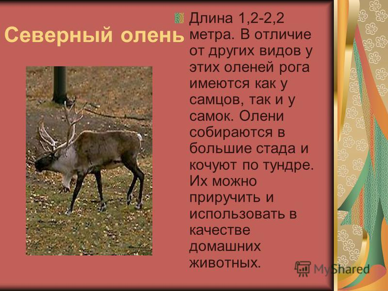 Северный олень Длина 1,2-2,2 метра. В отличие от других видов у этих оленей рога имеются как у самцов, так и у самок. Олени собираются в большие стада и кочуют по тундре. Их можно приручить и использовать в качестве домашних животных.