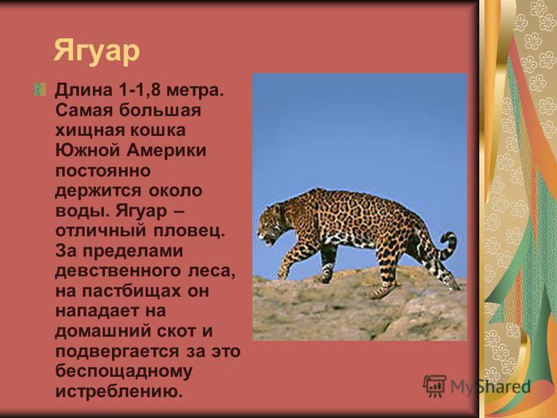 Ягуар Длина 1-1,8 метра. Самая большая хищная кошка Южной Америки постоянно держится около воды. Ягуар – отличный пловец. За пределами девственного леса, на пастбищах он нападает на домашний скот и подвергается за это беспощадному истреблению.