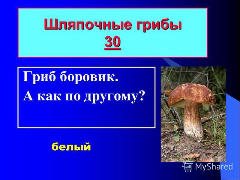 Гриб боровик. А как по другому? Шляпочные грибы 30 30 белый