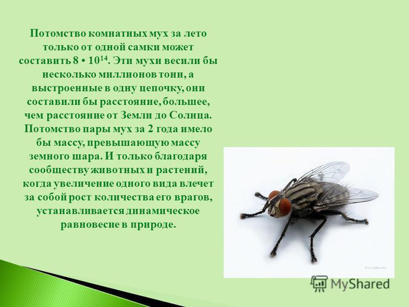 Потомство комнатных мух за лето только от одной самки может составить 8 10 14. Эти мухи весили бы несколько миллионов тонн, а выстроенные в одну цепочку, они составили бы расстояние, большее, чем расстояние от Земли до Солнца. Потомство пары мух за 2