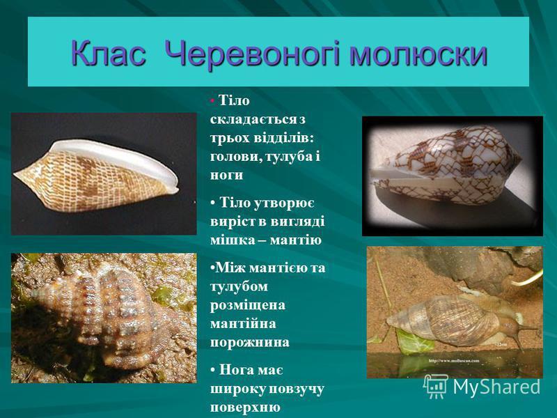Клас Черевоногі молюски Тіло складається з трьох відділів: голови, тулуба і ноги Тіло утворює виріст в вигляді мішка – мантію Між мантією та тулубом розміщена мантійна порожнина Нога має широку повзучу поверхню