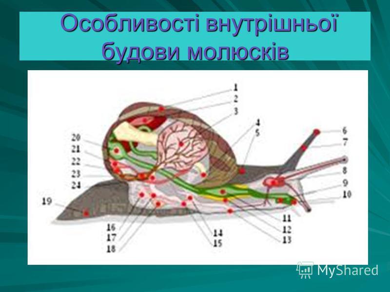 Особливості внутрішньої будови молюсків Особливості внутрішньої будови молюсків