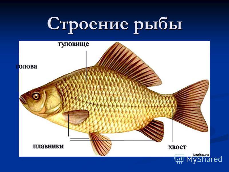 Строение рыбы голова хвост туловище плавники