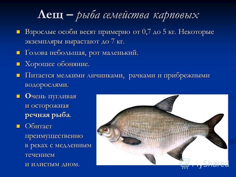 Лещ – рыба семейства карповых Взрослые особи весят примерно от 0,7 до 5 кг. Некоторые экземпляры вырастают до 7 кг. Голова небольшая, рот маленький. Хорошее обоняние. Питается мелкими личинками, рачками и прибрежными водорослями. Очень пугливая и ост
