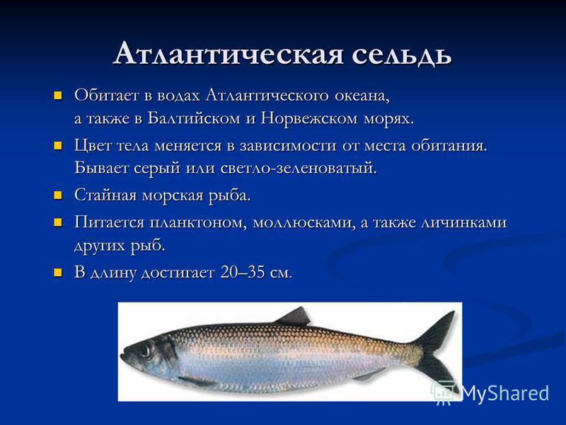 Атлантическая сельдь Обитает в водах Атлантического океана, а также в Балтийском и Норвежском морях. Обитает в водах Атлантического океана, а также в Балтийском и Норвежском морях. Цвет тела меняется в зависимости от места обитания. Бывает серый или