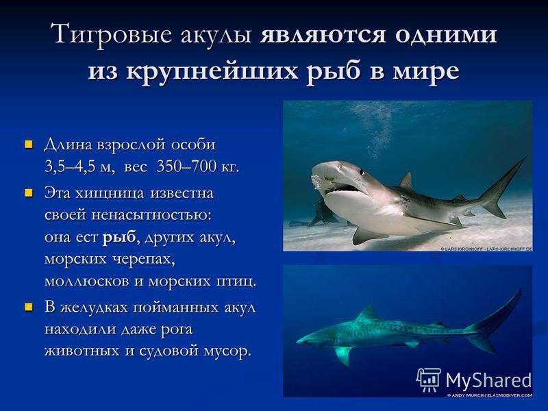 Тигровые акулы являются одними из крупнейших рыб в мире Длина взрослой особи 3,5–4,5 м, вес 350–700 кг. Длина взрослой особи 3,5–4,5 м, вес 350–700 кг. Эта хищница известна своей ненасытностью: она ест рыб, других акул, морских черепах, моллюсков и м