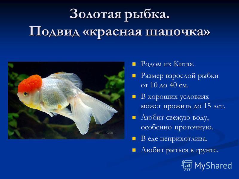 Золотая рыбка. Подвид «красная шапочка» Родом их Китая. Размер взрослой рыбки от 10 до 40 см. В хороших условиях может прожить до 15 лет. Любит свежую воду, особенно проточную. В еде неприхотлива. Любит рыться в грунте.