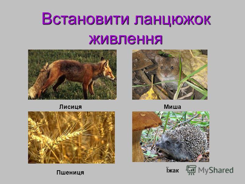 Встановити ланцюжок живлення ЛисицяМиша Пшениця Їжак