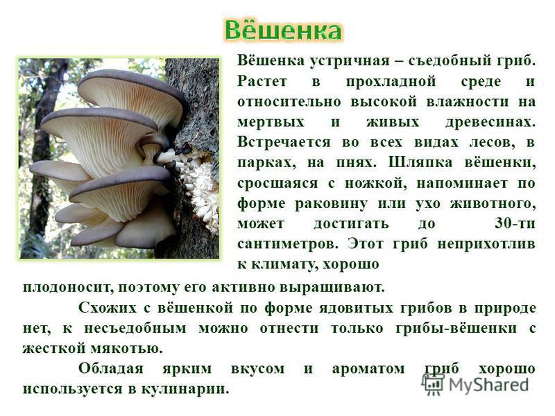 Вёшенка устричная – съедобный гриб. Растет в прохладной среде и относительно высокой влажности на мертвых и живых древесинах. Встречается во всех видах лесов, в парках, на пнях. Шляпка вёшенки, сросшаяся с ножкой, напоминает по форме раковину или ухо