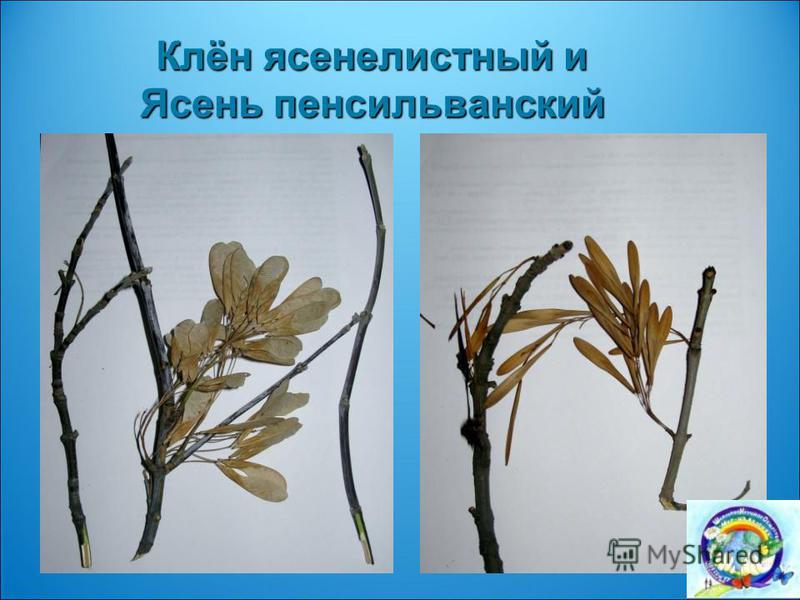 Клён ясенелистный и Ясень пенсильванский