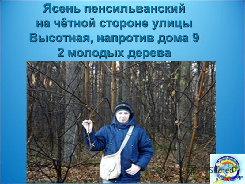 Ясень пенсильванский на чётной стороне улицы Высотная, напротив дома 9 2 молодых дерева