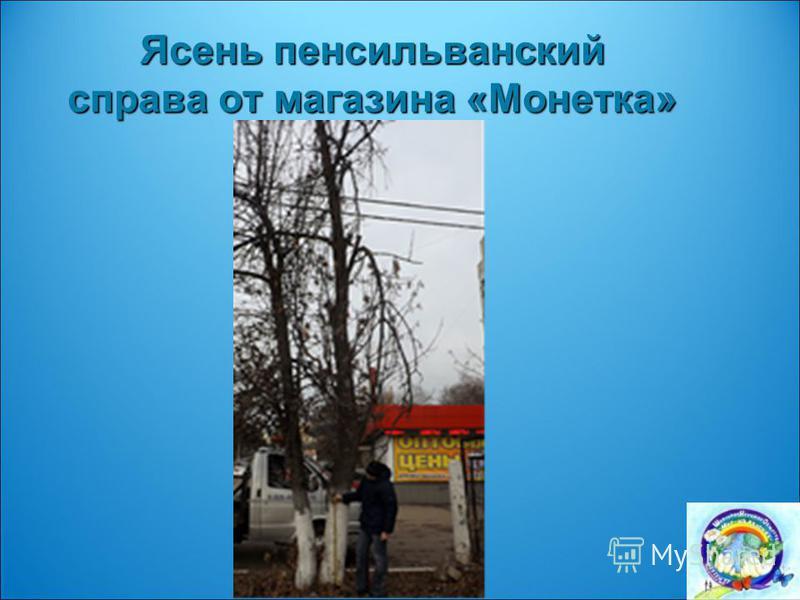 Ясень пенсильванский справа от магазина «Монетка»