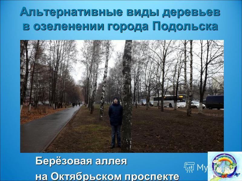 Альтернативные виды деревьев в озеленении города Подольска Берёзовая аллея на Октябрьском проспекте