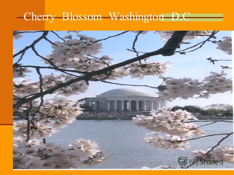 Cherry Blossom Washington D.C
