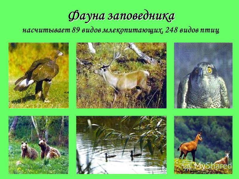 Животный мир заповедника эндемичных Наличие эндемичных видов животных объясняется тем, что в далеком прошлом Кавказ в течение длительного времени существовал в виде острова, окруженного морем. Эндемичные Эндемичные животные, то есть встречающиеся тол