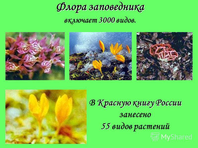 Растительный мир заповедника 1500 130 В пределах заповедника распространено до 1500 высших видов растений, из них свыше 130 видов – древесно-кустарниковых. Наибольшая часть территории заповедника покрыта пихтовыми и буковыми лесами