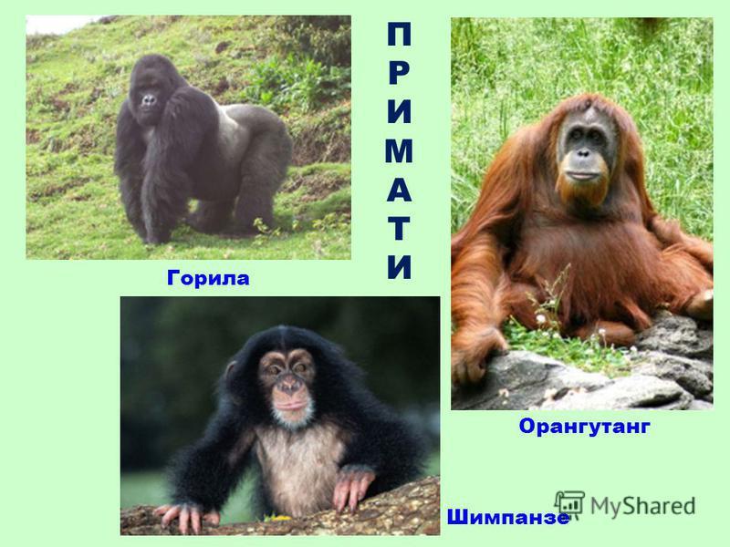 ПРИМАТИПРИМАТИ Горила Орангутанг Шимпанзе