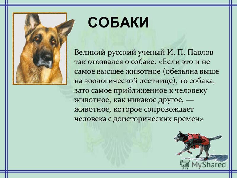 СОБАКИ Великий русский ученый И. П. Павлов так отозвался о собаке: «Если это и не самое высшее животное (обезьяна выше на зоологической лестнице), то собака, зато самое приближенное к человеку животное, как никакое другое, животное, которое сопровожд