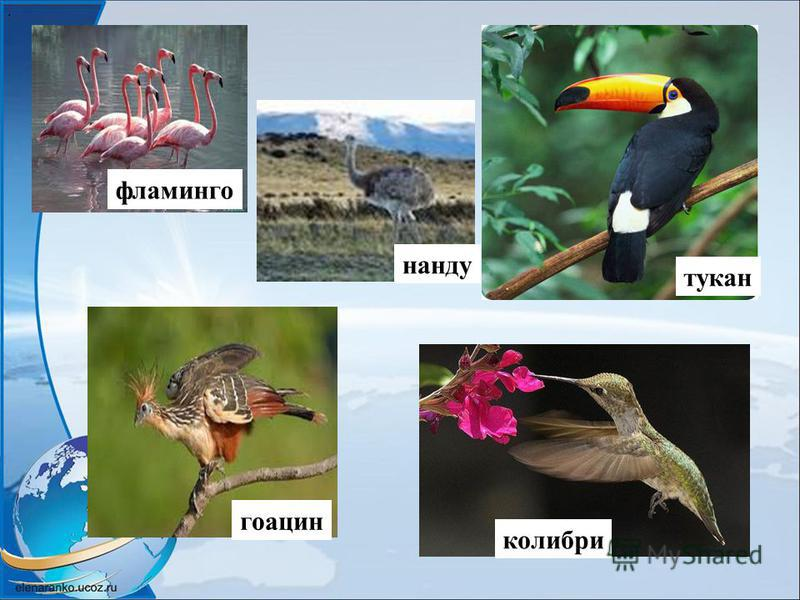 . фламинго гоацин нанду тукан колибри