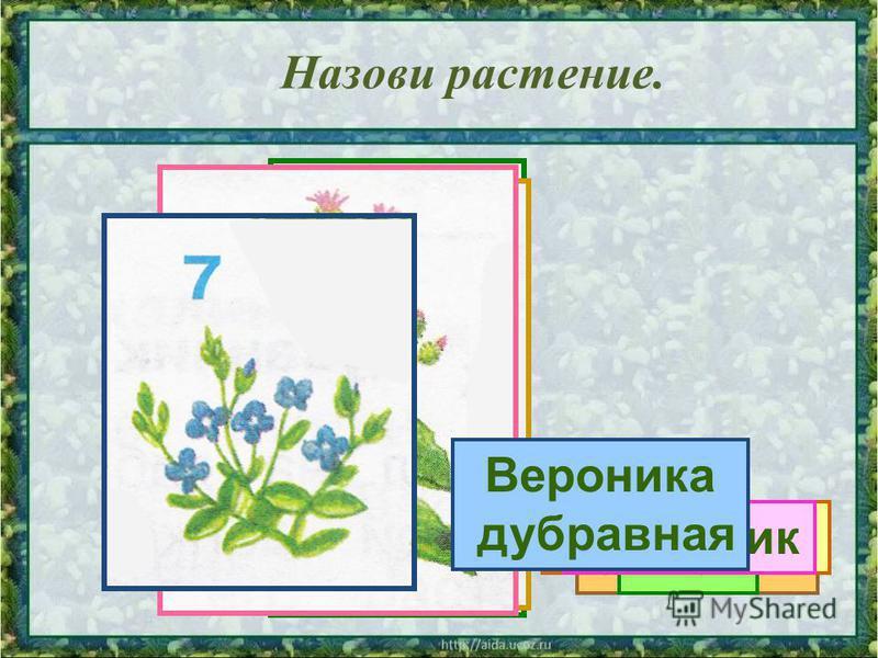 Назови растение. Сосна Калина Орешник Клён Одуванчик Репейник Вероника дубравная
