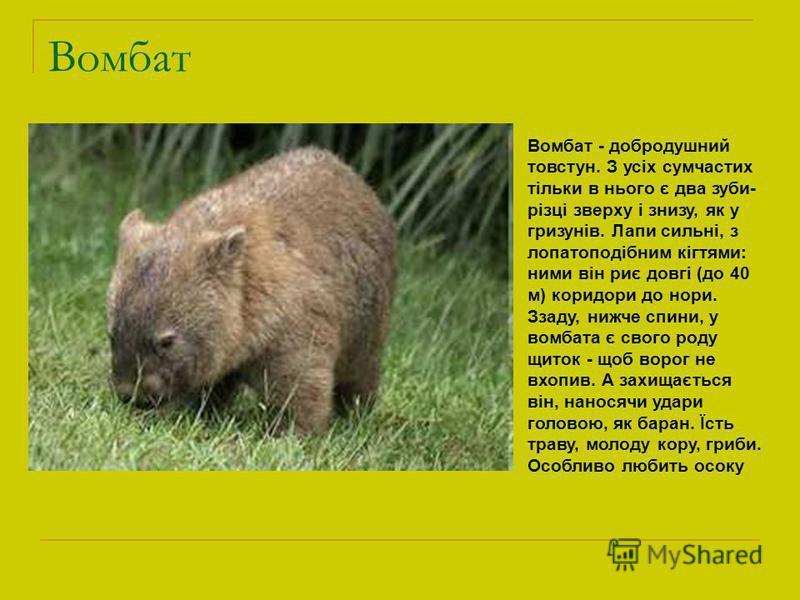 Вомбат Вомбат - добродушний товстун. З усіх сумчастих тільки в нього є два зуби- різці зверху і знизу, як у гризунів. Лапи сильні, з лопатоподібним кігтями: ними він риє довгі (до 40 м) коридори до нори. Ззаду, нижче спини, у вомбата є свого роду щит