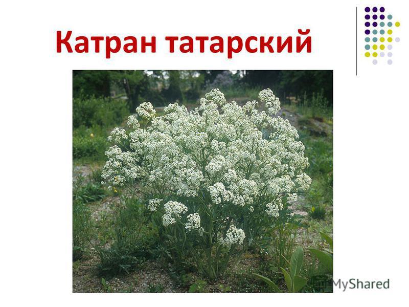 Катран татарский