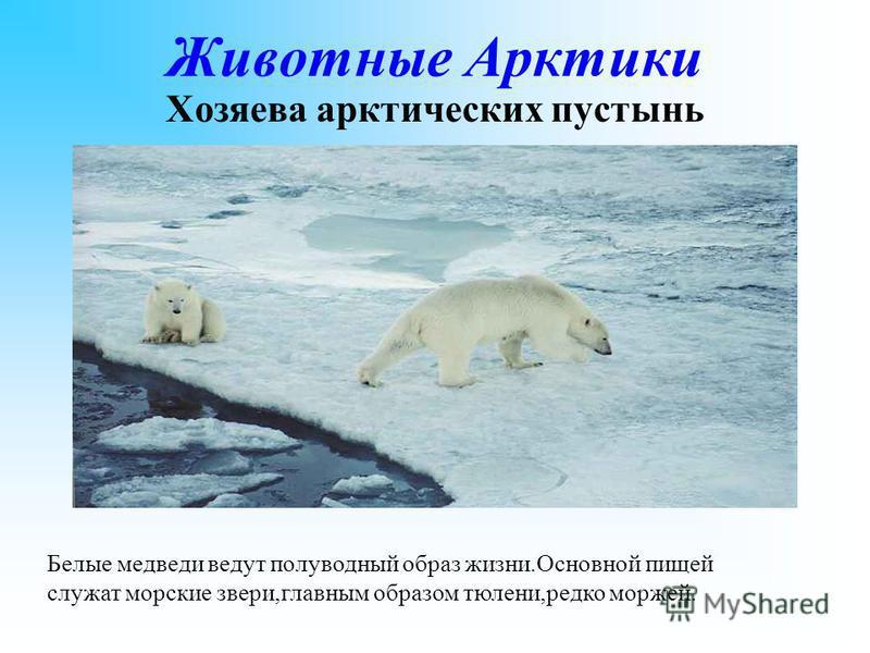 Животные Арктики Хозяева арктических пустынь Белые медведи ведут полуводный образ жизни.Основной пищей служат морские звери,главным образом тюлени,редко моржей.