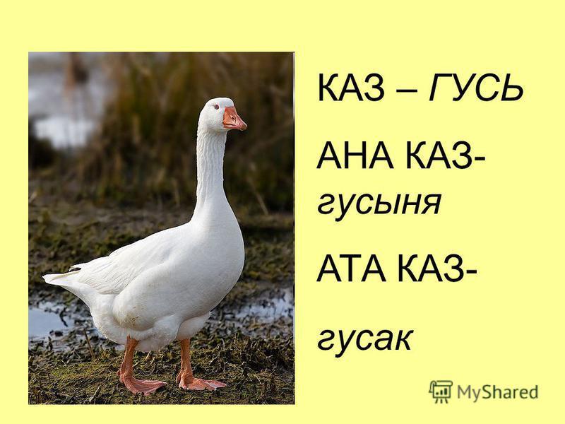 КАЗ – ГУСЬ АНА КАЗ- гусыня АТА КАЗ- гусак