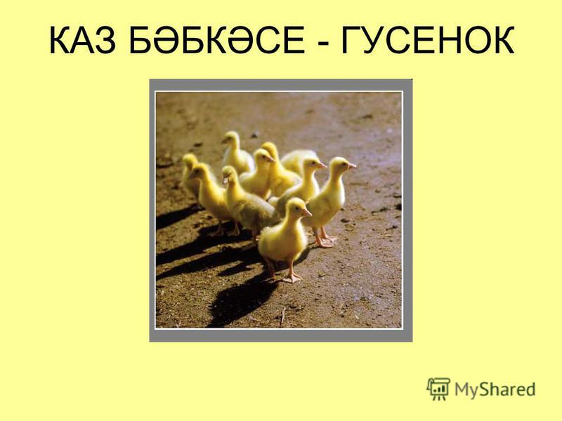 КАЗ БӘБКӘСЕ - ГУСЕНОК