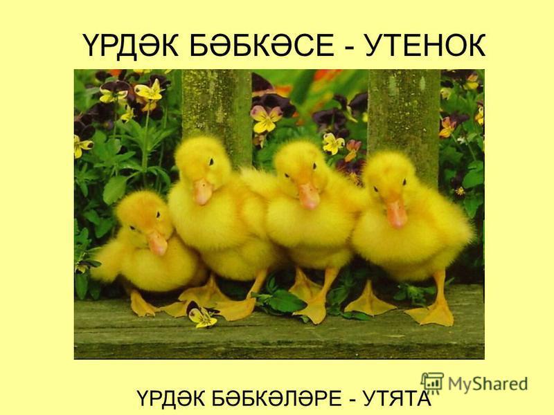 ҮРДӘК БӘБКӘСЕ - УТЕНОК ҮРДӘК БӘБКӘЛӘРЕ - УТЯТА