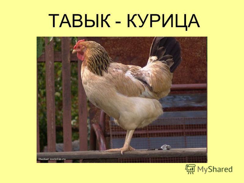 ТАВЫК - КУРИЦА