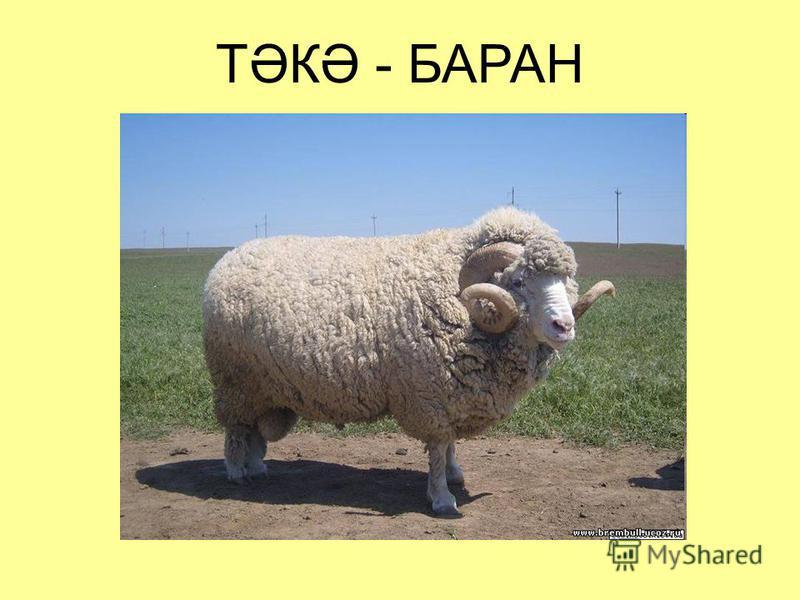 ТӘКӘ - БАРАН