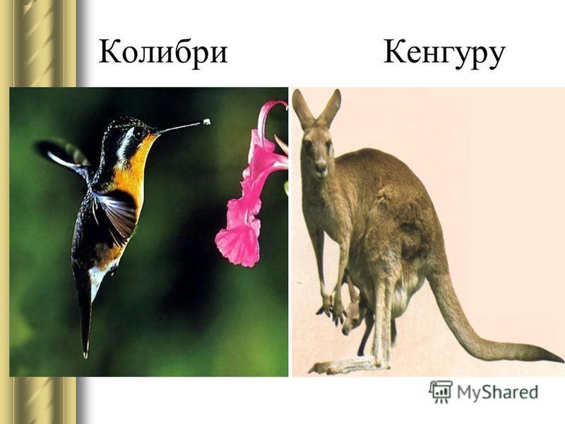 Колибри Кенгуру
