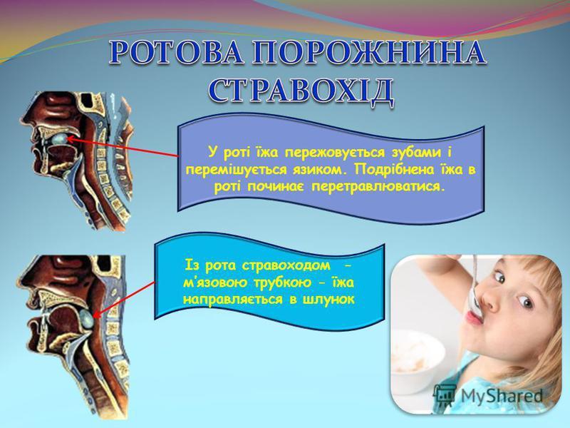 У роті їжа пережовується зубами і перемішується язиком. Подрібнена їжа в роті починає перетравлюватися. Із рота стравоходом - мязовою трубкою - їжа направляється в шлунок