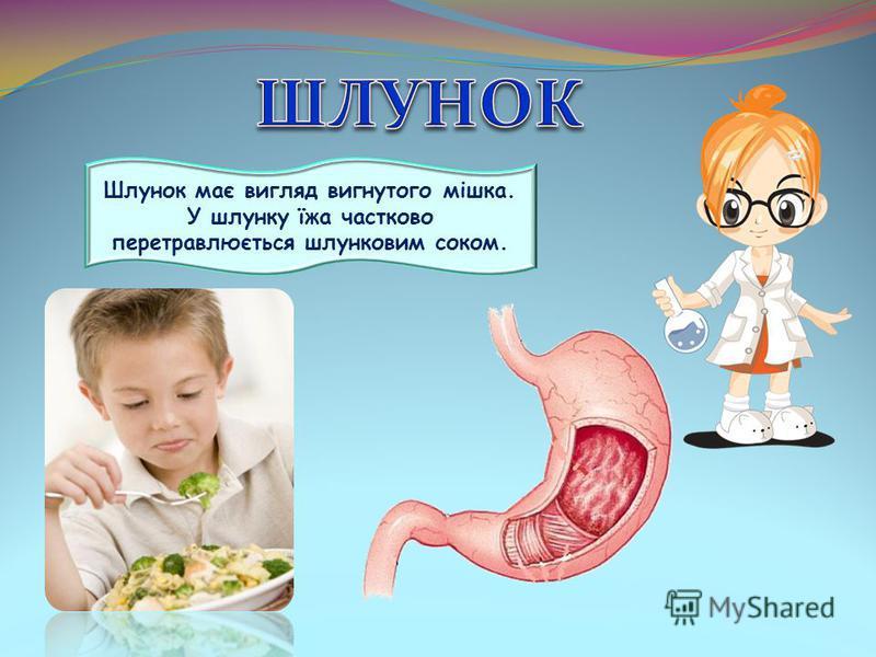 Шлунок має вигляд вигнутого мішка. У шлунку їжа частково перетравлюється шлунковим соком.