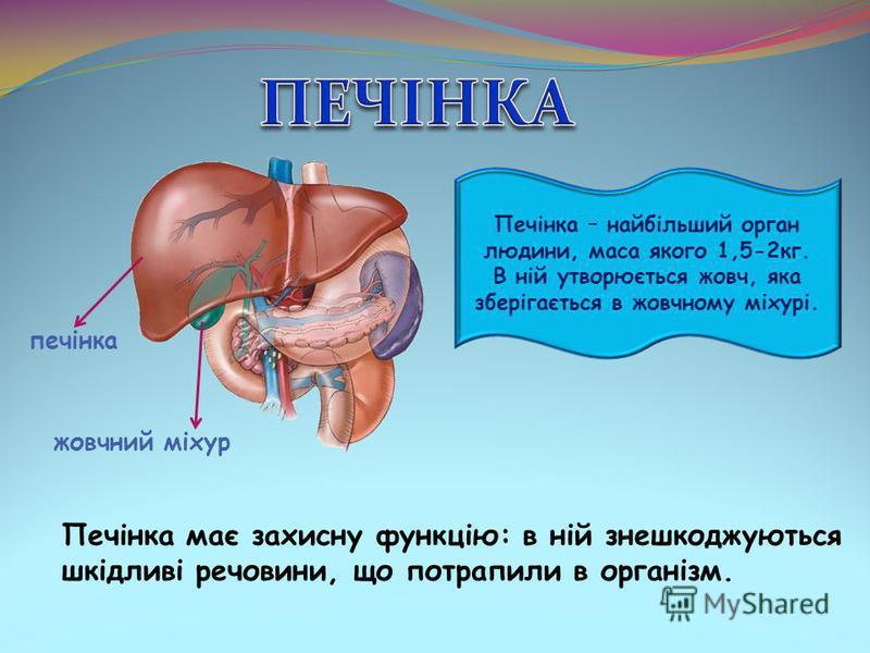 Печінка – найбільший орган людини, маса якого 1,5-2кг. В ній утворюється жовч, яка зберігається в жовчному міхурі. Печінка має захисну функцію: в ній знешкоджуються шкідливі речовини, що потрапили в організм. печінка жовчний міхур