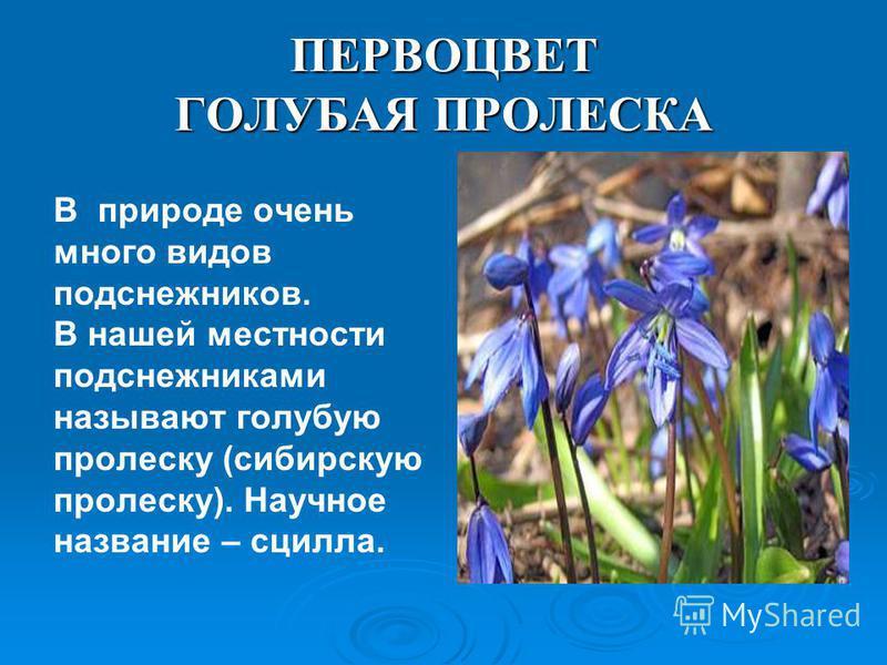 ПЕРВОЦВЕТ ГОЛУБАЯ ПРОЛЕСКА В природе очень много видов подснежников. В нашей местности подснежниками называют голубую пролеску (сибирскую пролеску). Научное название – сцилла.