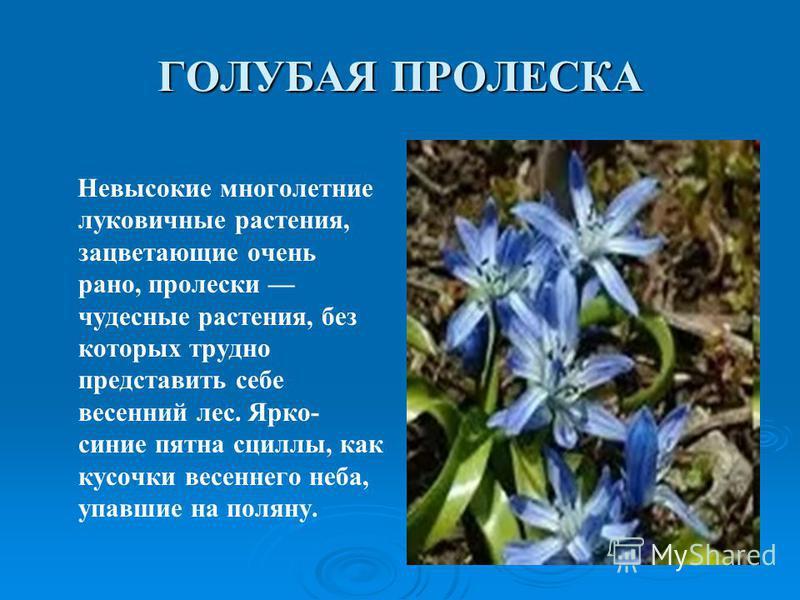 ГОЛУБАЯ ПРОЛЕСКА Невысокие многолетние луковичные растения, зацветающие очень рано, пролески чудесные растения, без которых трудно представить себе весенний лес. Ярко- синие пятна сциллы, как кусочки весеннего неба, упавшие на поляну.