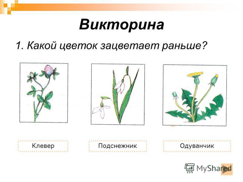 Викторина 1. Какой цветок зацветает раньше? Клевер ПодснежникОдуванчик