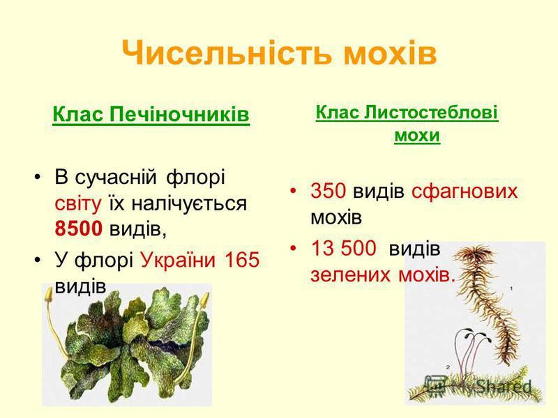 Чисельність мохів Клас Печіночників В сучасній флорі світу їх налічується 8500 видів, У флорі України 165 видів Клас Листостеблові мохи 350 видів сфагнових мохів 13 500 видів зелених мохів.