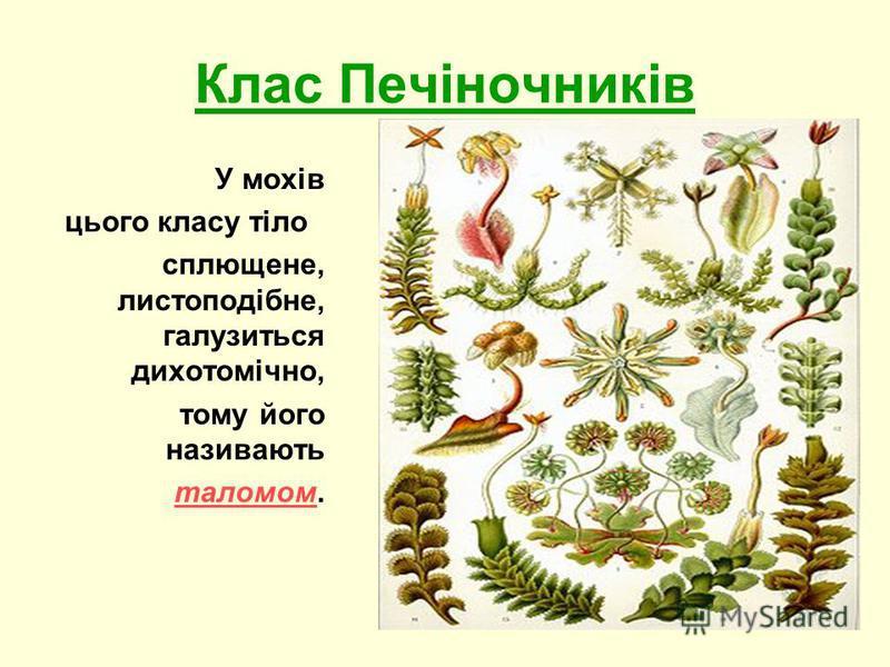 Клас Печіночників У мохів цього класу тіло сплющене, листоподібне, галузиться дихотомічно, тому його називають таломом.таломом