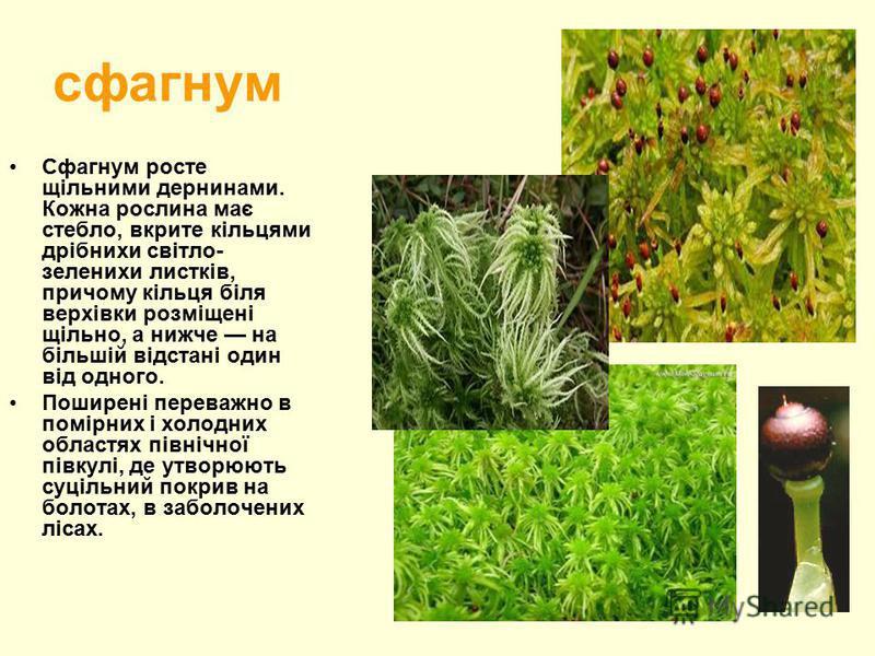 сфагнум Сфагнум росте щільними дернинами. Кожна рослина має стебло, вкрите кільцями дрібнихи світло- зеленихи листків, причому кільця біля верхівки розміщені щільно, а нижче на більшій відстані один від одного. Поширені переважно в помірних і холодни