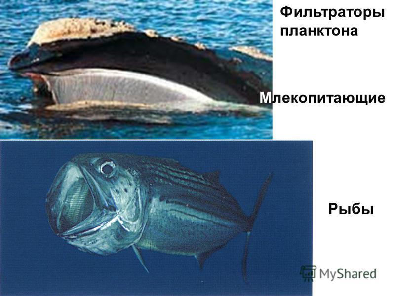 Фильтраторы планктона Млекопитающие Рыбы
