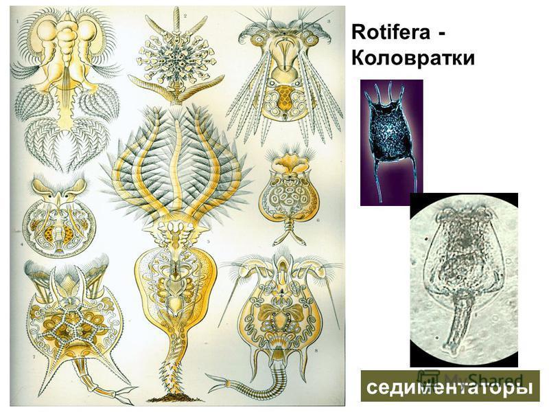 Rotifera - Коловратки седиментаторы